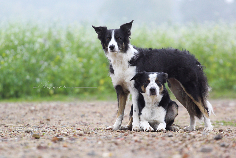 G And H Border Collies Wings of Hope Border-C...